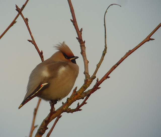 waxwing_tramore_22012011_snv36754.jpg