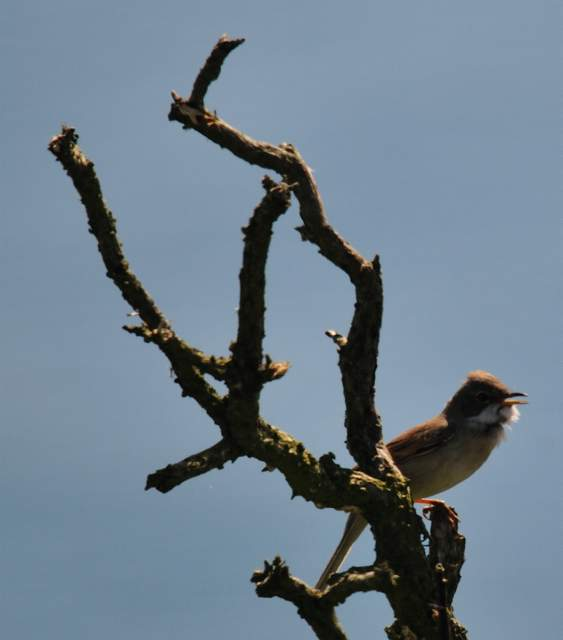 whitethroat1_helvick_23042011.jpg