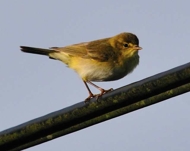 willowwarbler2_carrignagour_12042011.jpg
