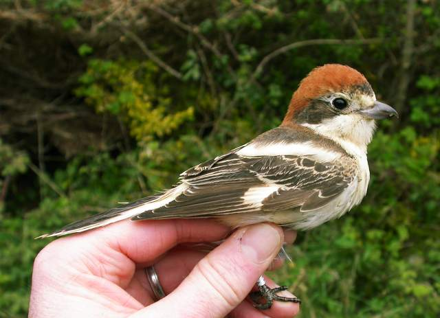 woodchat_brownstownhd_17042011.jpg